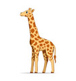 giraffe animal standing on a white background vector image vector image
