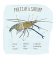 part of shrimp hand draw sketch vector image vector image