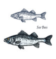 sea bass fish isolated sketch for seafood design vector image vector image