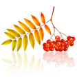 Isolated autumn rowan branch with leaves vector image vector image