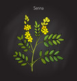 alexandrian senna plant vector image vector image