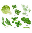 greens and spices realistic set lettuce coriander vector image
