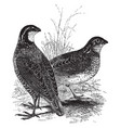 american quails vintage vector image vector image