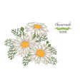 chamomile flowers and leaves floral composition vector image