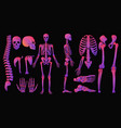 human bones bright colors neon style skeleton set vector image