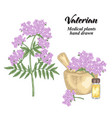 valerian flowers and leaves isolated on white vector image
