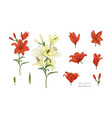 botanical set of lilies flowers in color vector image