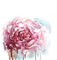 Watercolor peony background vector image