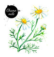 hand drawn watercolor chamomile flower painted vector image vector image