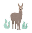 adorable llama or cria isolated on white vector image vector image