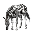 Zebra eating vector image