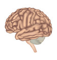 human brain isolated brain lateral view anatomy vector image vector image