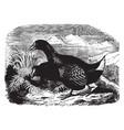 Takahe vintage
