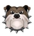 angry bulldog face in metal collar vector image