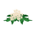 Clerodendrum Paniculatum Flowers or Pagoda Flowers vector image
