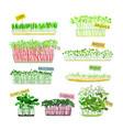 set microgreens corn arugula and beets radish vector image