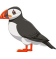 cartoon puffin isolated on white background vector image vector image