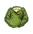 cauliflower vegetable natural vector image vector image
