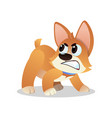 angry little corgi growling and showing his teeth vector image