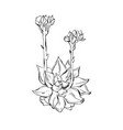 hand drawn graphic ink sketch of succulent vector image vector image