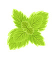 fresh mint leaf isolated on white background vector image