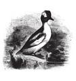 buffle headed duck vintage vector image vector image