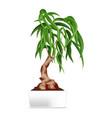 bonsai in white pot vector image vector image