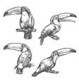 toucan tropical bird sketch exotic animal design vector image