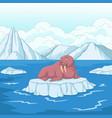 cartoon walrus on ice floe vector image vector image