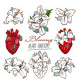 set of stylized anatomical human heart and white vector image vector image