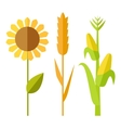Sunflower wheat corn vector image
