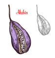 akebia fruit sketch with exotic japanese berry vector image vector image