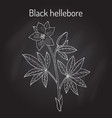 christmas rose or black hellebore evergreen vector image vector image