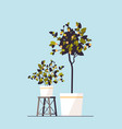 potted lemon plants growing fruit trees in pots vector image vector image