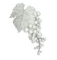 hand drawn bunch of grapes isolated on white vector image