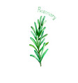 rosemary herb spice isolated on white background vector image vector image