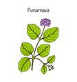 punarnava boerhavia diffusa medicinal plant vector image