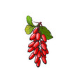 barberry hand drawn ripe berries bunch vector image