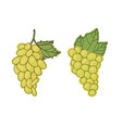 bunch of green grapes vector image