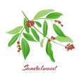 sandalwood tree branch vector image vector image
