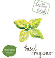 watercolor green basil vector image