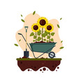 sunflowers cartoon with wheelbarrow and shovel vector image vector image
