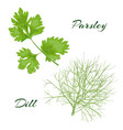 parsley and dill fresh cooking herbs vector image