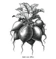antique engraving radish hand draw vintage vector image