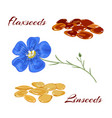 flaxseeds and blue flax flower vector image vector image