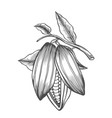 cocoa beans freehand drawing vector image vector image