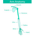 human arm skeletal anatomy vector image