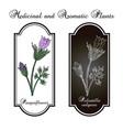 pasqueflower pulsatilla vulgaris medicinal plant vector image vector image