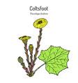 coltsfoot tussilago farfara - medicinal plant vector image