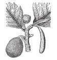 bread-fruit tree vintage vector image vector image